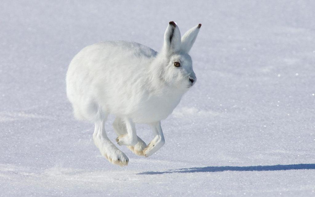 охота на зайца петлями