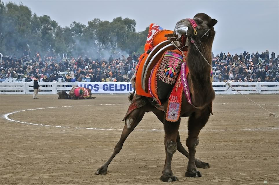 Необычные виды спорта - верблюжьи бои