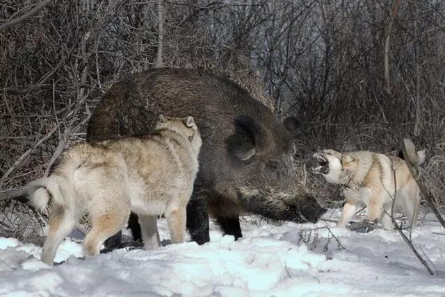 охота на дикого кабана