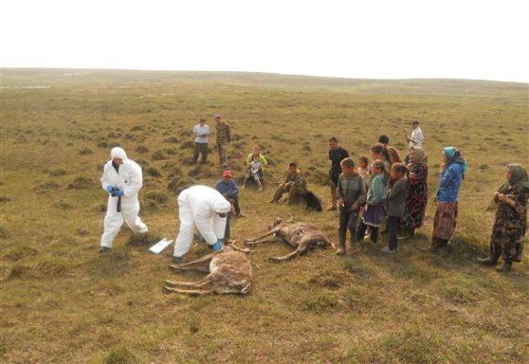 сибирская язва на Ямале