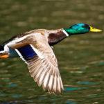 весенняя охота на утку, использовать чучела птиц